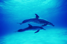 Atlantic spotted dolphins (Stenella frontalis)