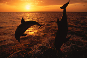 Two bottlenose dolphins diving in ocean at sunset